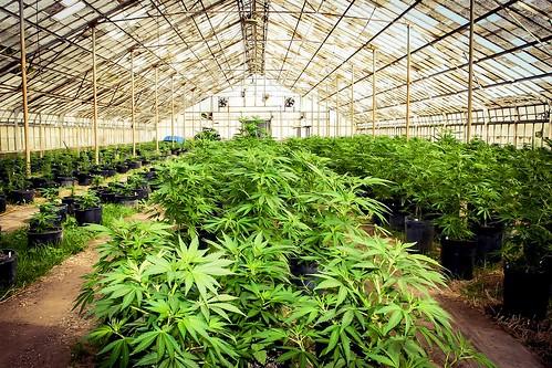 Should I Invest in Marijuana Stocks?